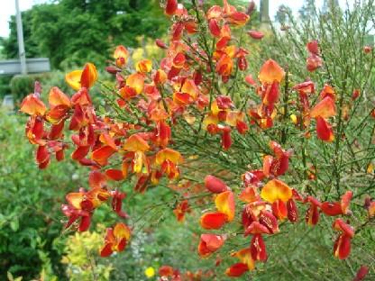セルカークのレストランの庭の花.JPG