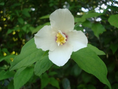 白山吹のような花.JPG