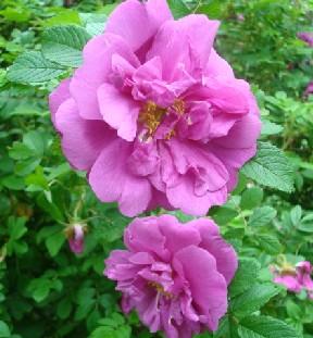紫のバラ.JPG