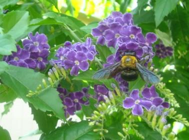 蜂と紫の花.JPG