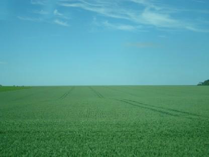 麦畑.JPG