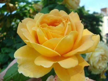 黄色のバラ.JPG