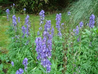 ブルーの花.JPG