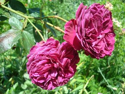 ボタン色のバラ.JPG