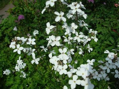大根の花に似た白い花.JPG