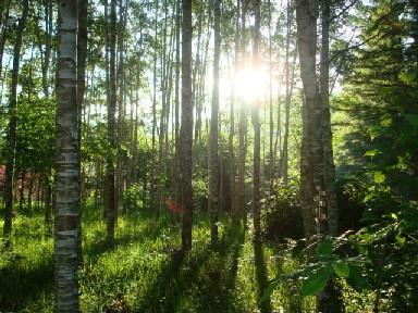 朝日があたる林.JPG