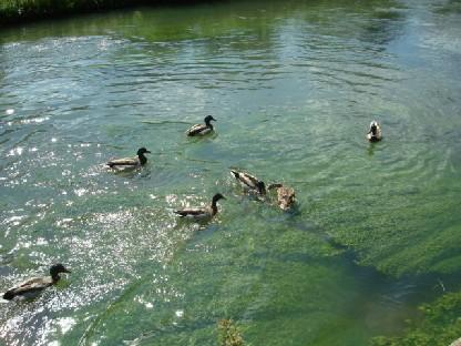 藻が生える川にカモがたくさん.JPG